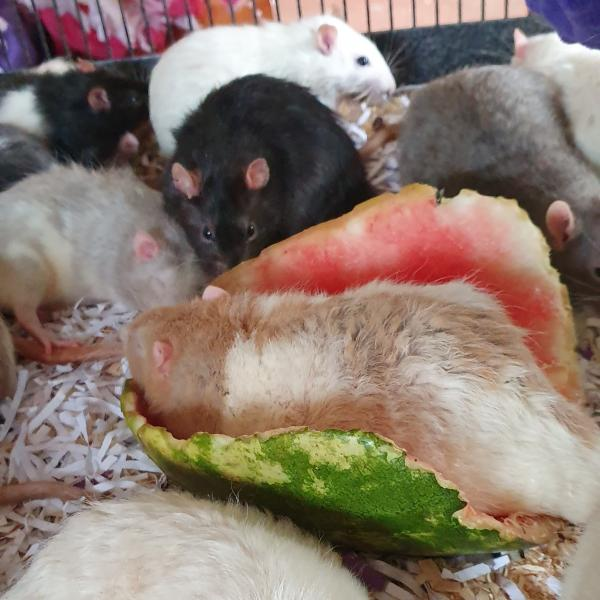 A fat fluffy rat sleeping in a chewed out half watermelon