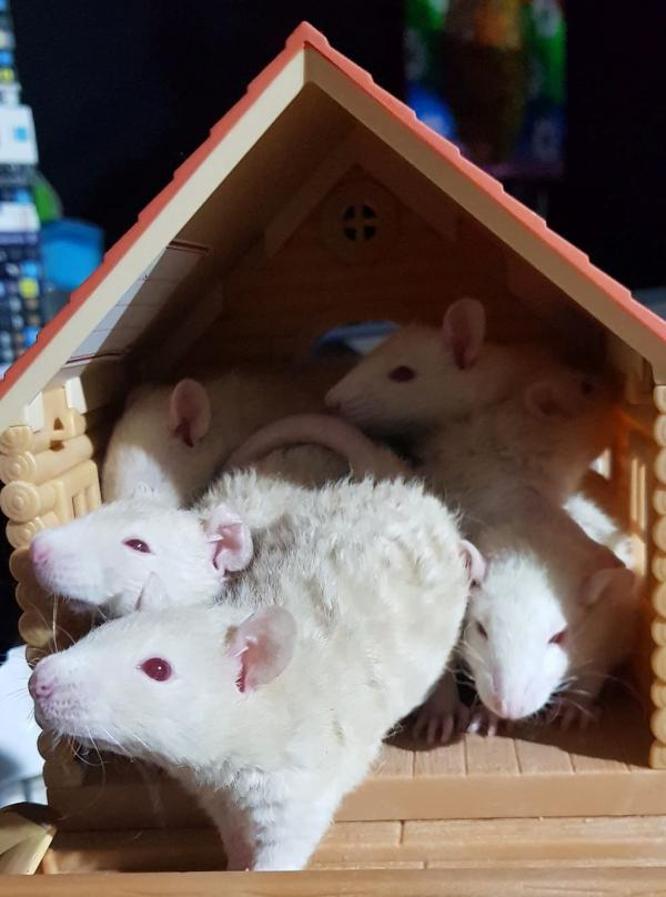 A group of baby rats in a house