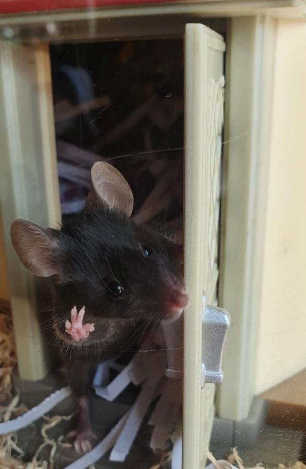 A mouse leaving a dollhouse out the front door appearing to be waving